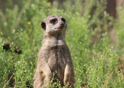 Meerkat In Greenery