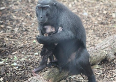 Baby Macaque Monkey Held By Mother