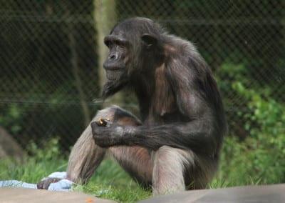 One Armed Chimpanzee