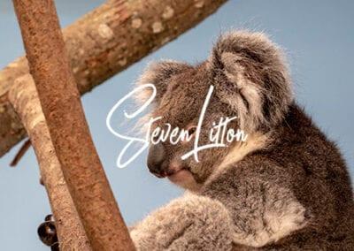 Koala-in-house-close-up-2