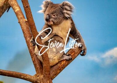 Koala-in-house-perched-on-tree-4