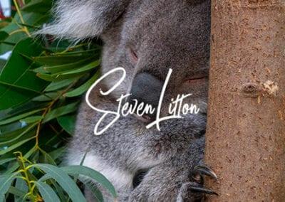Koala-sleeping-in-tree
