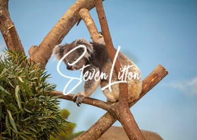 Koala-in-house-climbing-tree-6