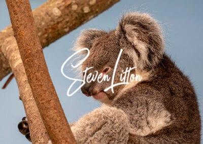 Koala-in-house-close-up