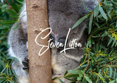 Koala-sleeping-in-tree4